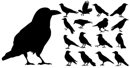 Vector, isolated silhouette of crows, crow, bird, set