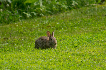 Rabbit in the Yard.