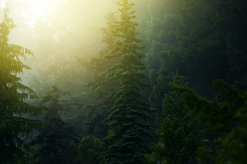 Wall Mural - Foggy Mysterious Forest