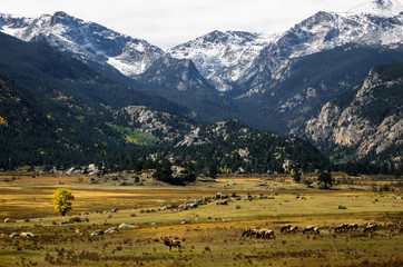Moraine Park Elk herd during the Fall mating season