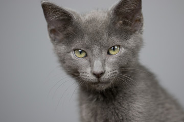 Gray Kitten, Executive Pose