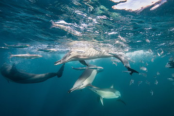 Common dolphins feeding on sardines during the sardine run, east coast of South Africa.