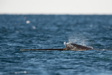 Male narwhal swimming at the surface with it's tusk exposed, Baffin Island, Canadian Arctic.
