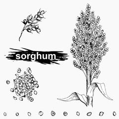 Hand drawn monochrome vector illustration set of sweet sorghum, grain, branch. sketch. Vector eps 8.