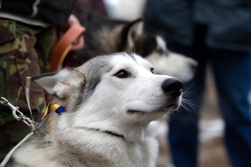 Siberian husky championship II