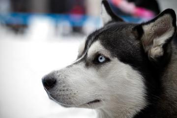 Siberian husky championship
