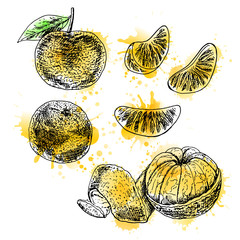 Watercolor hand drawn set of mandarin. Vector sketch