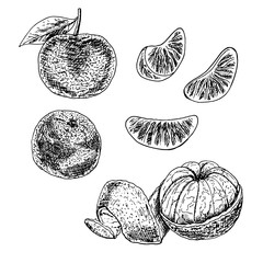 Hand drawn set of mandarin. Vector sketch