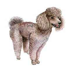 dog poodle on a white background. Watercolor. Illustration.