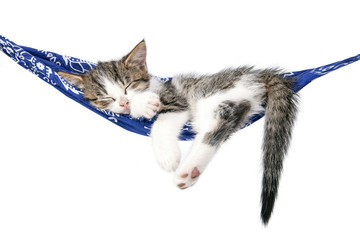 Little kitten sleeps on a hammock. Small cat sleeps sweetly as a small bed. Sleeping cat on a white background.