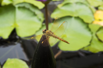 Dragonfly on lotus.