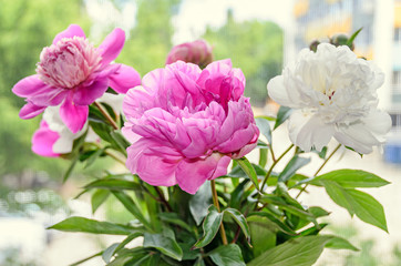 Pink and white peony flowers with bud, bokeh blur background, genus Paeonia, family Paeoniaceae