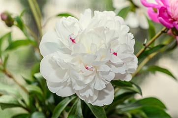 White peony flower close up, bokeh blur background, genus Paeonia, family Paeoniaceae