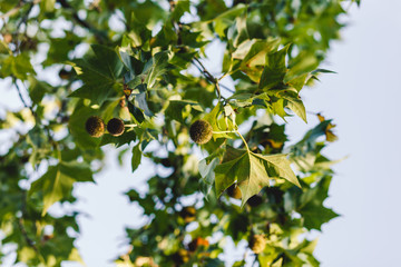Platanus orientalis. Sycamore. The fruit of the tree is patched. Green balls. Summer. Flowering of trees. Backdrop of sky and tree. Leaves of trees.