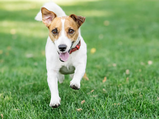 A cute happy little dog Jack Russell Running fast on green lawn at sunny day. Copy-space left