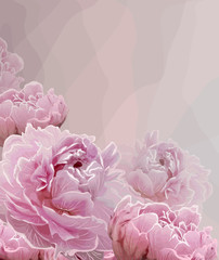 Pink background with Pink peony blossoming flowers