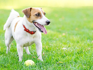 A cute happy dog Jack Russell Terrier playing with a small Tennis ball on green lawn outdoor at summer day. Copy-space left