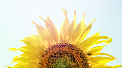 sunflower close up shot with sunlight and copy space