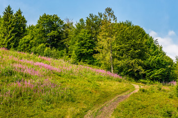 footpath through the meadow with purple flowers