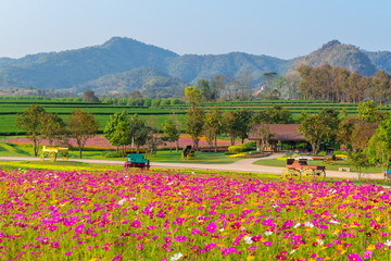 Wall Mural - Landscape of cosmos flower field  at singpark in chiangrai, Thailand