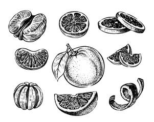 Vector oranges hand drawn