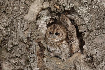 Zelfklevend Fotobehang Uil Tawny owl