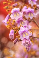 Princess tree in bloom
