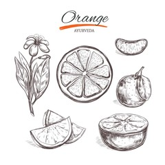 Orange. Vector collection in sketch style. Isolated objects. Natural herbs and flowers. Beauty and Ayurveda. Organic cosmetics
