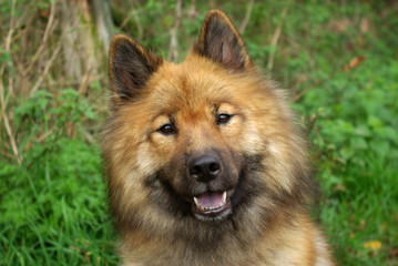 Portrait Eurasier dog