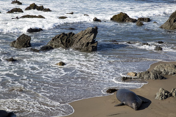 Sea Elephant at California Coast (Highway One, USA)
