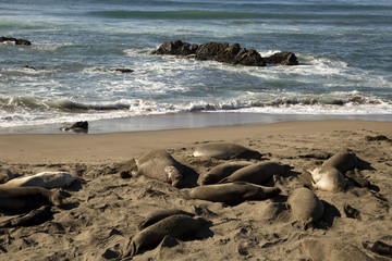 Sea Elephants at California Coast (Pacific Coast Highway, USA)