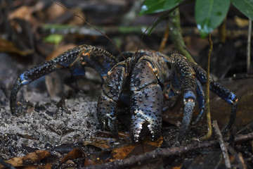 "Coconut crab (Birgus latro), Raja Ampat, Western Papua, Indonesian controlled New Guinea, on the Science et Images ""Expedition Papua, in the footsteps of Wallace"", by Iris Foundation"
