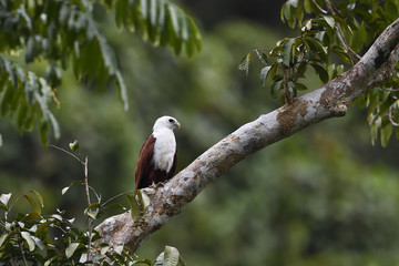 "Brahminy kite (Haliastur indus), Raja Ampat, Western Papua, Indonesian controlled New Guinea, on the Science et Images ""Expedition Papua, in the footsteps of Wallace"", by Iris Foundation"