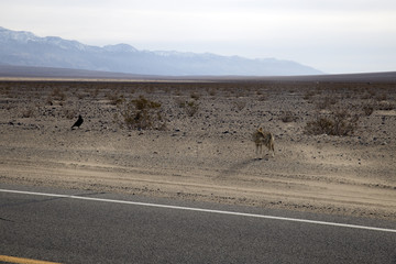 Lonely Coyote (prairie wolf) in Dead Valley, California, USA