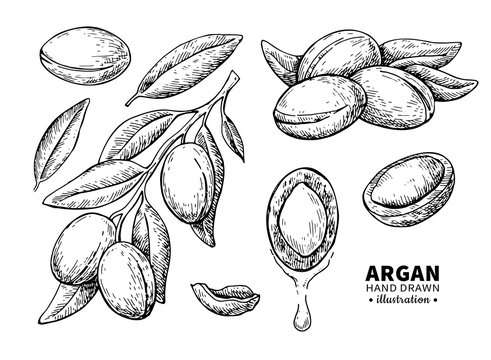 Argan vector drawing. Isolated vintage  illustration of nut. Org