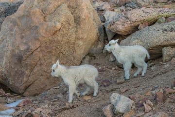 Cute Mountain Goat Kids
