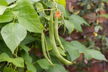 Runner beans on plant
