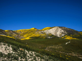 Mountain covered with wild yellow flower blooming field