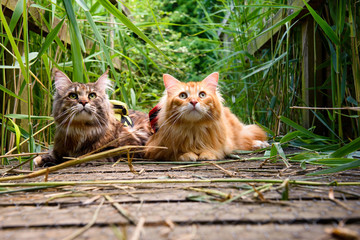 Maine Coon cats lying on a bridge