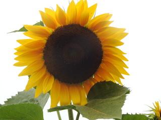 sunflower, flower, yellow, green, fall, autumn, summer, pollen, garden, floral, beautiful, sun, sky, petals