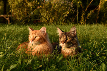 Maine Coon kittens gazing at the sunset