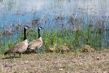 Candian or Canada Geese WIth Goslings on Shore, Near the Water