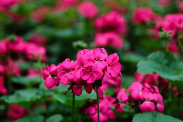 Pink flowers with a natural blurred background.