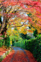 Wall Mural - Beautiful autumn leaves on the road, Kyoto, Japan