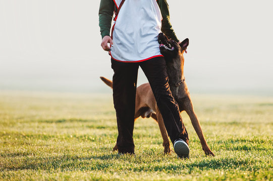 Beloved dog breed Belgian shepherd dog walks next to man and looks in the eyes. Training with raspberry on a blurred background on the field