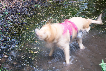 Willow the Labrador shaking water after swim