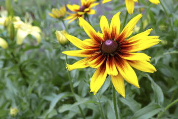 Rudbeckia flowers among the green leaves.