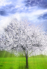 Wall Mural - Spring apple tree in bloom with mystical magic divine angelic rays of light like a spiritual concept