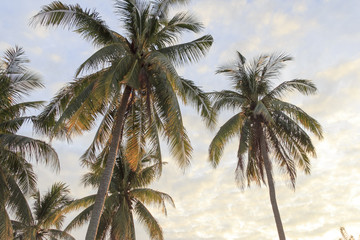 Coconut trees, view from below when sun rises