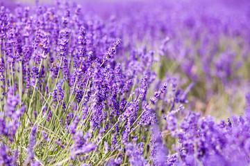 Lavender bushes close up, summer day background